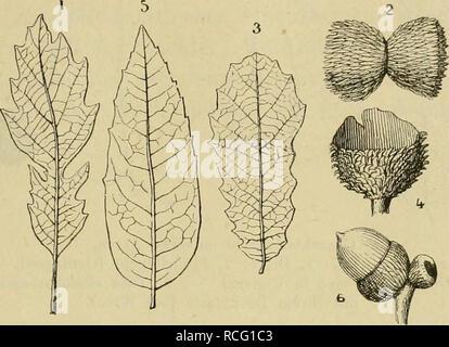 . Die Pflanzenwelt vor dem Erscheinen des Menschen. Paleobotany. DER TERTTARZEIT. MIOGEN. 299 Q. cerris, L., und Q. pseudosuber, Sant., nahe standen. Die Eichen von der Gruppe unserer robur zeigen sich noch nirgends; man findet Fig. 93.. Eichen des rniocenen Waldes vom Berge Charray (Ardeche). 1. bis 2. Quercus palaeocerris, Sap.: 1, Blatt; 2, zwei zusammengewachsene Eichel- becher. — 3. bis 4. Q. subcrenata, Sap.: 3, Blatt; 4, Becher. — 5. bis 6. Q.praeilex, Sap.: 5, Blatt; 6, zwei Früchte, eine mit der Eichel, die andere unentwickelt, beide stehen auf einem gemeinsamen kurzen und dicken Stie - Stock Photo