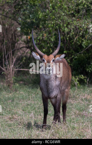 Water buck at Masai Mara National reserve - Stock Photo