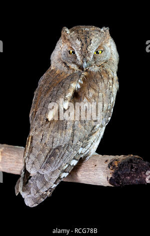 Eurasian Scops Owl (Otus scops), adult perched on a branch - Stock Photo