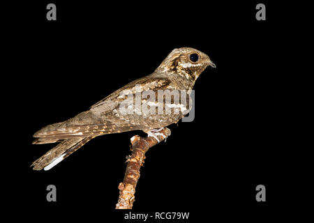 European Nightjar (Caprimulgus europaeus), adult perched on a branch - Stock Photo