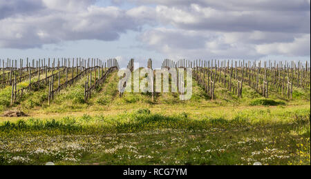 View of vines in early spring in Alentejo region, Portugal. - Stock Photo