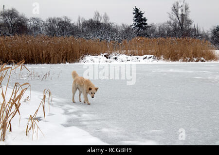 A big homeless dog stands on the ice of a winter frozen lake - Stock Photo