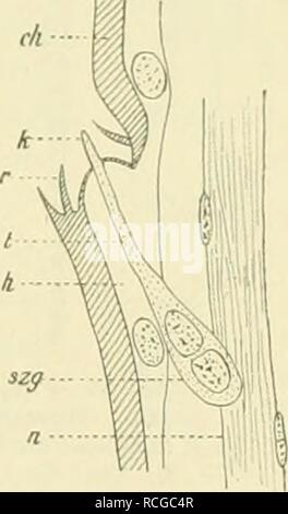 """. Die Schmetterlinge Europas. Lepidoptera; Caterpillars. Fig. 49. Spitze einer Fiedep des männl. Fühlers von Orgr. antiqua L ; fast ^w)/, u^t. Gr. k Grubeu- kegel; s^/Endzapfenträger; *? Endzapfen; A'Sinues- liorste; tr Sinneshaar. Verkl. nach 0 Schenk. Fig. 50. Längsschnitt durch einen Gruben- kegel des Fühlers von B. piniarius L.; """"*'/in. Gr. rh Chitin; U Epi- dermis ; )• Borste des Borstenkranzes ; t Endkegel des Sinnes- organs ; szg Sinnes- zellengruppe ; H Nerv. — Nach 0. Schenk. *) O. Seh., Die antennalen Hautsinnesorgane einiger Lepidopteren und Hymenopteren, in: Zool. Jahrb. Anat. - Stock Photo"""