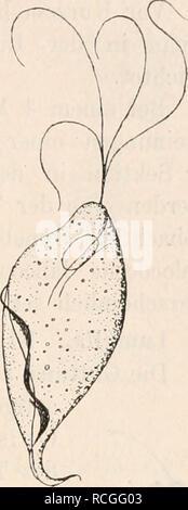. Die Protozoen als Krankheitserreger des Menschen und der Hausthiere; für Ärzte, Thierärzte, und Zoologen. Flagellaten als Krankheitserreger. 157. sowohl bei menstruirenden wie niclit mehr menstruirenderi Personen, Schwangeren wie Nichtschwangeren, selbst bei Mädchen von G—7 Jahren, sofern bei denselben Scheidenkatarrh mit saurer Reaktion des Sekretes besteht. Bei Injektion alkalischer Flüssigkeiten werden die Parasiten getödtet (Braun). Unbekannt ist bisher, ob die Triehomonaden den Scheiden- katarrh hervorrufen oder nur Begleiter des- selben sind. Neuerdings hat Schmidt^) in drei Fällen von
