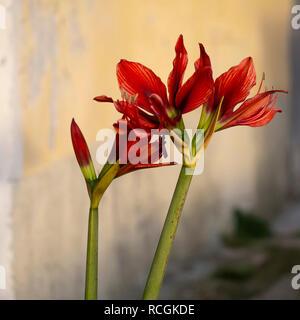 Red amaryllis flower in Italian village, yellow street behind. - Stock Photo