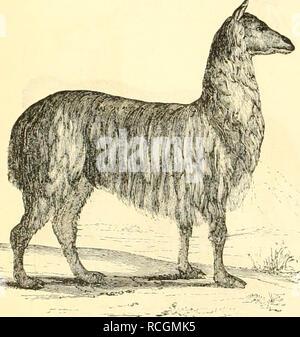 . Die Naturgeschichte des Thierreichs. Zoology. .>?u,in.iip ull^ ii'tifsii iMiita. guj. 633,. StlfaM. iui  cii auf ^velu'^^f Csicfaljrcii aiifnu'vffiiiu nuicbcn. 'Kit üiff laiycii lu- fid) ictocf) lunn Säger Ü6cirafcl)fn. fsiaiij un-lnle^, umsU'h fic iiidit ftdi jii rcrtdciMgcn, l^I^ ein etii= ucx .tpuiit luilt ^l^ö flärf le Ibiev fcft. Tmmi JHcitcni iimiiru]t, lun-lioit Me tViiije .ycciTc Mc iM' uiiuiiii mir rwiitit fid) äMi;iftlid) auf eiuen *isuiift ^ufammeii. Jiii iVm^ eicifntluimlidH'v unt uncvflävIiduTCin-u'olnifieit fe.jen fie iluen Jh'th au iH-fftmmteu Crtcu ab u^^ iinitilen audi - Stock Photo