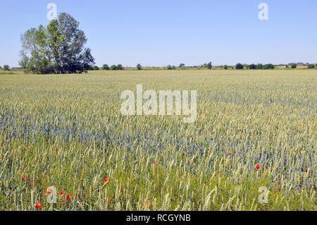 Common wheat, bread wheat, Weichweizen, Brotweizen, Saat-Weizen, kenyérbúza, búza, Triticum aestivum - Stock Photo