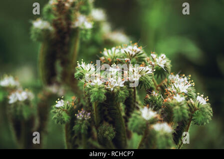 Phacelia tanacetifolia is an annual herb also known as lacy phacelia, blue tansy or purple tansy. Selective focus with very shallow depth of field. - Stock Photo