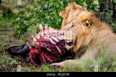 Lions feeding on a Buffalo in South Africa - Stock Photo