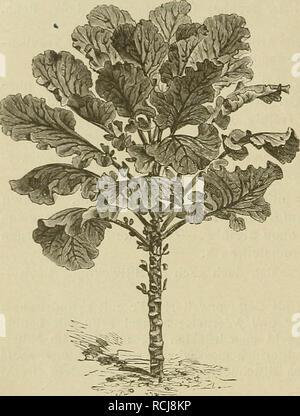 . Die Natürlichen Pflanzenfamilien : nebst ihren Gattungen und wichtigeren Arten, insbesondere den Nutzpflanzen. Plants; Plants, Useful. 178 Cnifit'erae. (Praiitl. f) capitata, Kopfkohl, Kraut (Fig. 114 E), mit verkürztem Stengel, hohlen, in einen Kopf zusammenschließenden B., zuweilen violett gefärbt; g) Botrytis L., Blumenkohl (Fig. 115), mit fleischigem, ebensträußigem Blütenstand und größtenteils verkümmerten ßl. — Unter. /C^3:>. Please note that these images are extracted from scanned page images that may have been digitally enhanced for readability - coloration and appearance of thes - Stock Photo