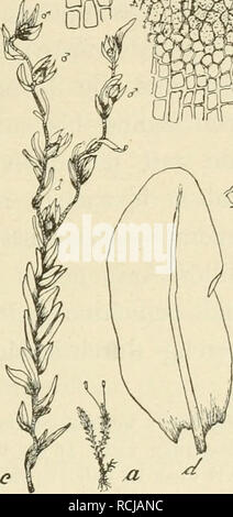 . Die Musci der Flora von Buitenzorg : zugleich Laubmoosflora von Java. ' Mmw. Please note that these images are extracted from scanned page images that may have been digitally enhanced for readability - coloration and appearance of these illustrations may not perfectly resemble the original work.. Fleischer, Max, 1861-1930. Leiden : E. J. Brill - Stock Photo