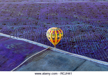 A yellow hot air balloon flying low over a field of lavender in Temecula, California. - Stock Photo