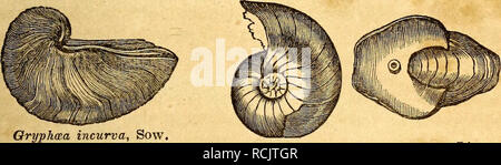 . Elements of geology. Geology. PART II. CHAPTER XVIII. 225 Fossils of the Lias. white colour, and have been called white lias. In some parts of France, near the Vosges mountains, and in Luxembourg, M. E. de Beaumont has shown that the lias containing Gryphcea arcuata, Plagiostoma giganteum, and other characteristic fossils, becomes arenaceous; and around the Plartz, in West- phaha and Bavaria, the inferior parts of the lias are sandy, and sometimes afford a building stone called by the Germans qua- dersandstein. The name of Gryphite limestone has sometimes been applied to the lias, in consequ - Stock Photo