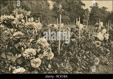 """. Die Gartenwelt. Gardening. XXIV, 42 Die Gartenwelt. 399 Dahlien aller Einführungen von 1920 sind zu nennen: """"Weltbrand"""", mit ziemlich großen, brennend scharlachroten Blumen, Höhe 80 cm, vorzüglich für Gruppen; """"Henny Porten"""", ca. 130 cm hoch, sehr reichblüliend. Die großen Blumen sind fleischfarbigrosa, für Schnitt und Gruppen gleich wertvoll; """"Marlitt"""" besitzt eine entzückende Farbe, ein seidig glänzendes Lüarosa. In Trauerkränzen, mit schwarzbraunen Blumen zusammen verwendet, muß dieses feine Lila schön zur Geltung kommen. Ziemlich große, lilarosa Blumen auf starken Stielen  - Stock Photo"""