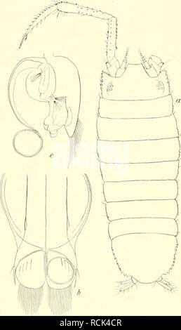 . Die Isopoden der Deutschen Sdpolar-Expedition, 1901-1903. Isopoda z Antarctic regions. 556 Deutsche Siidpolar-Expedition. Übrigen wareu 1—2 mm groß oder kleiner. Die kleinsten Exemplare von 0,5—0,75 mm stammen vom 12. VIII. 1002. 17. XII. 1902. 31. XII. 1902 und 8. II. 1903. Es selieint demnaeh hier die Hauptentwickluugszeit in die Sommermonate zu fallen.. Please note that these images are extracted from scanned page images that may have been digitally enhanced for readability - coloration and appearance of these illustrations may not perfectly resemble the original work.. Vanhöffen, Ernst,  - Stock Photo