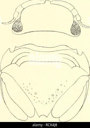 . Die Isopoden der Deutschen Sdpolar-Expedition, 1901-1903. Isopoda z Antarctic regions. 516 Deutsche Südpolar-Expedition. Darunter verdient ein Exemplar besondere Erwähnung, weil bei ihm die Uropoden abweichend gebildet, die Außenäste erheblich kürzer als die Innenäste sind. Die letzteren haben normale Größe und Form, die Außenäste aber sind verschieden untereinander, der rechte nur halb so lang wie der linke und dieser etwa ein Drittel so lang wie der Innenast. Außerdem aber zeigen die beiden Außenäste gelbliche von der tangbraunen des übrigen Körpers abweichende Farbe. Daraus wie aiich aus  - Stock Photo