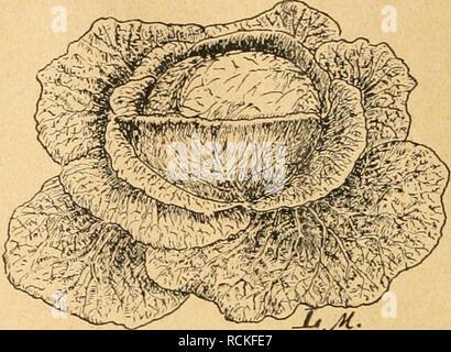 . Die Gartenwelt. Gardening. Zur Samenzucht im Gemüsebau. Abb. 4. Typ des Winnigstätter Weißkohls, sorgfältige Auswahl wird gerade bei Kohlrabi besonders lohnend sein (Abb. 9 u. 10). Rosenkohl ist eine noch ver- hältnismäßig junge Kohlart. Es sind in den letzten Jahren mehrere Sorten entstanden, die den allgemeinen An- sprüchen genügen. Man verlangt von einem guten Rosenkohl Festigkeit der einzelnen Rosen, gleichmäßigen Besatz der Stangen, Zartheit und Wohlge- schmack, verbunden mit Winterhärte. Die Kultur und Güte des Bodens ist hier von Einfluß, aber nicht ausschlag- gebend, da es selbst bei - Stock Photo