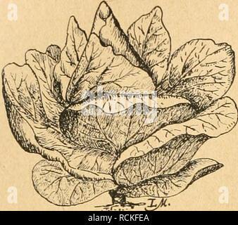 . Die Gartenwelt. Gardening. 302 Die Gartenwelt. XXVI, 29. Zur Samenzucht im Gemüsebau. Abb. 4. Typ des Winnigstätter Weißkohls, sorgfältige Auswahl wird gerade bei Kohlrabi besonders lohnend sein (Abb. 9 u. 10). Rosenkohl ist eine noch ver- hältnismäßig junge Kohlart. Es sind in den letzten Jahren mehrere Sorten entstanden, die den allgemeinen An- sprüchen genügen. Man verlangt von einem guten Rosenkohl Festigkeit der einzelnen Rosen, gleichmäßigen Besatz der Stangen, Zartheit und Wohlge- schmack, verbunden mit Winterhärte. Die Kultur und Güte des Bodens ist hier von Einfluß, aber nicht aussc - Stock Photo