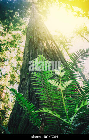 green leaves of the fern grow on the redwood - Stock Photo