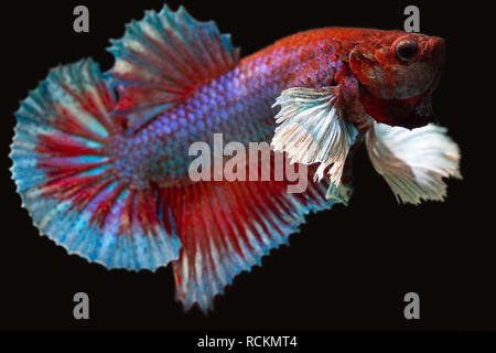 betta plakat male aquarium fish - Stock Photo