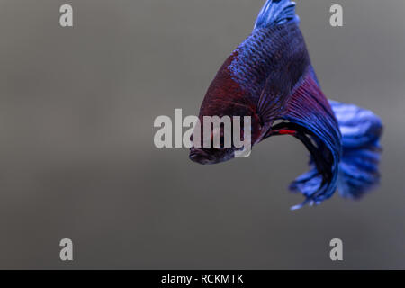 blue male delta tail betta fish - Stock Photo