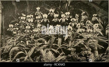 """. Die Gartenwelt. Gardening. 426 Die Gartenwelt. VI, 36 Orchideen. Schönste und dankbarst blühende Cjin'ipedieu für den Schnitt und für Massenkultur. Von Otto Proebel, Gartenbaugeschäft, Zürich V (Schweiz). (Hierzu die Farbentafel Tind z-i'ei Abbildntigcn.J Letztes Jahr, in Nr. 31 vom 4. Mai 1901 dieses ge- schätzten Blattes, hatte ich Gelegenheit, etwas über """"Cypripedien als wertvollste Schnittblumen der Zukunft für Massenkultur und über eine neue Rasse remontieren- der Hybriden derselben"""" zu berichten. — Ich erwartete, im Mai 1901 — mit Nachdruck zu Gunsten einer ziel- bewussten Auswahl - Stock Photo"""