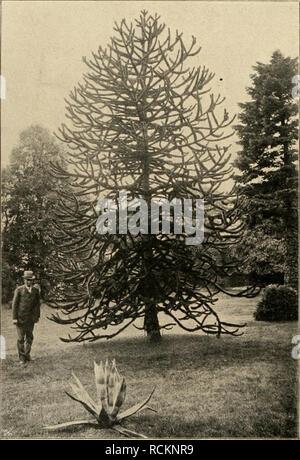 . Die Gartenwelt. Gardening. 398 Die Gartenwelt. VI, 34 Hintergrunde sehr schön abhebt. Seite 400 sehen wir fast in der Mitte des Bildes ein Exemplar von Pinus banksiana, einer sehr interessanten nordamerikanischen Kie- fer. Der Baum ist ca. 5 m hoch und trägt eine Menge klei- ner Zapfen vieler Jahrgänge, weil diese Kiefer die Zapfen niemals abstösst. Links daneben sehen wir eine schöne, wuchtige Edeltanne, Äbies lasiocarpa. Der Baum ist 31 Jahre alt, hat 1 m Stammhöhe, 60 cm Stammdurch- messer und ist im ganzen 15 m hoch. Die langen, flach- gestellten, blaugrünen Nadeln an flach gebauten Zwei - Stock Photo