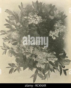 """. Die Gartenwelt. Gardening. VI, 31 Die Gartenwelt. 367 men persicum mit dem kräftig wachsenden Cijclamcn splcn- dciis auf künstlichem Wege zu vereinigen. Der Erfolg war ein durchschlagender. Konnte ich doch schon auf der Septemberausstellung in Hamburg 1881 in einer von mir dort ausgestellten vollblühenden Cijclamen-Gruppe mein Erstlingswerk unter dem Namen ..Rosa von Maricnthal"""" dem Publikum vorführen, dem, ein Jahr später, bei gleicher Gelegenheit in Bremen, im August noch ein leuchtend dunkelrotes hinzu- trat, aus dem dann später meine jetzigen, leuch- tend dunkelroten und leuch - Stock Photo"""