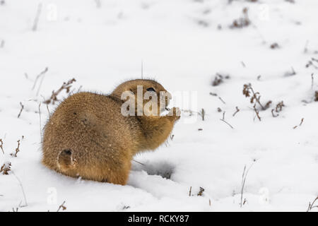 Black-tailed Prairie Dog, Cynomys ludovicianus, emerged from den to feed on a snowy November day, in the South Unit of Theodore Roosevelt National Par - Stock Photo