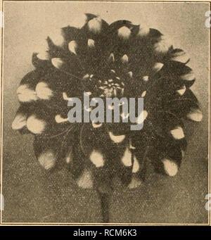 . Die Gartenwelt. Gardening. 462 Die Gartenwelt. VXX, 4(5 Das sind die Haupt- produkte an Gemüse, die man jetzt auf dem Markte findet. Wenn man noch hinzufügt, daà Brot augenblick- lich 2500-3500 Rubel das Pfund kostet, so wird man sich in Deutschland vielleicht ein Bild von dem Leben in Petrograd machen können. Was die Blumen- zucht hier anbetrifft, so steht es mit dieser ganz elend,' man sieht schon seit mehreren Jahren keine einzige gute Rose, Chrysan- themum, Cyclamen (gar nicht), Hortensie, Azalee,Rhododendron oder Blumenzwiebel mehr. Alles wird sehr gesucht, aber man hat für die Kult - Stock Photo
