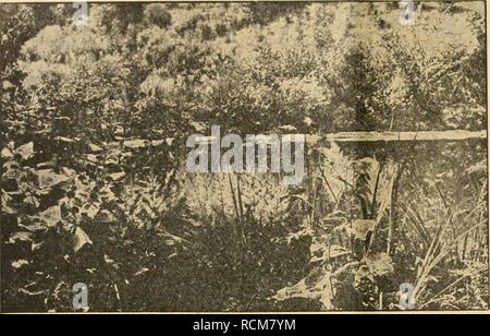 . Die Gartenwelt. Gardening. 282 Die Gartenwelt. XXIII, 36. Astilbe Arendsi in Mittenwald. dürfte sie dann aber schwerlich wieder verwechselt werden, denn sie hat auch nicht die geringste Aehnlichkeit mit ihr, schon allein ihres völligen Mehlstaubmangels halber, während sie der schon lange Jahre in unseren Gärten heimisch ge- wordenen Pr. involucrata Wall, vom Himalaya sehr nahe- steht, so nahe, daß man sie bei oberflächlicher Betrachtung im nichtblühenden, lebenden oder auch im getrockneten Zu- stande kaum von ihr zu unterscheiden vermag. Die kennzeichnenden Unterschiede zwischen Pr. sibirica - Stock Photo
