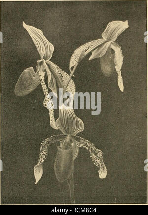 . Die Gartenwelt. Gardening. 42 Die Gartenwelt. XXIV, 5. Cypripedium Fischbeckianum, Blütenstand. Herbst fanden dann noch die durch ihre merkwürdige Gieß- brausenform interessanten Fruchtstände viele Bewunderer. Nachdem uns im Jahre 1915 die Verpflichtung wurde, die Beheizung des Beckens einzustellen, um an Heizmaterial und Kosten jeder Art zu sparen, ging es mit dei- schönen Lotosblume bald abwärts. Im ersten Jahre nach Einstellung der Erwärmung des Wassers war zwar die Entwicklung der Blätter noch verhältnismäßig gut, aber die der Blüten doch sdion ziemlich dürftig. Im zweiten Jahre erschien - Stock Photo
