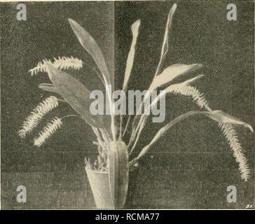 . Die Gartenwelt. Gardening. 148 Die (Jartenwelt. XX, 13 Lycaste Skinneri. Heimat Mexiko. Ist von sehr elegantem Wuchs und reichblühend. Die Blumen sind weiß bis rosenrot. Diese Art gehört zu den dankbarsten, an Schönheit und Haltbar- keit unübertroffenen Orchideen. Nach der Blütezeit, welche in den Herbst und Winter fällt, stellt man die Pflanzen kühl und gibt weniger Wasser. Zum Verpflanzen verwendet man eine Mischung von groben Torfbrocken, Osmunda- und Polypodium- fasern, Ziegel mit Holzkohlenstückchen, mit reinem Flußsand ver- mengt. Laelia anceps. Heimat Mexiko. Sie blüht im Winter und w - Stock Photo