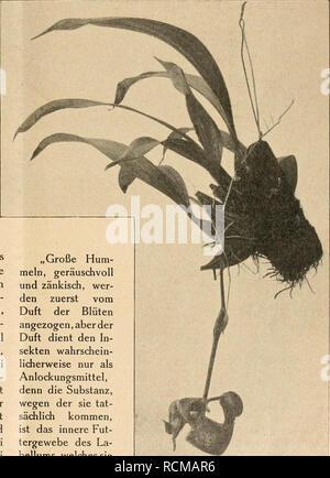 . Die Gartenwelt. Gardening. bau frei. Im Laufe der ersten Nacht verlieren die Sepalen bereits ihre Straffheit, sie rollen an den Rändern ein und zerreißen da- bei nicht selten. Wie bereits oben erwähnt, dient die An- ordnung der Blüten- teile dazu, die Be- fruchtung durch be- stimmte Insekten zu ermöglichen. Die Art dieses Vorganges läßt sich aus Abb. S. 10 erkennen, welche am Morgen des zweiten Blütentages aufgenom- men wurde. Die paari- gen Sepalen sind auf bleich gelbgrünem Grunde auf den Innen- flächen hellbraun ge- fleckt , dieselbe Farbe ist den beiden teilweise dem Labellum an- liegend - Stock Photo