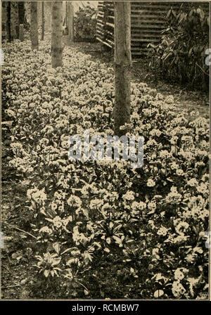 . Die Gartenwelt. Gardening. 282 Die Gartenwelt. XVI, 21 trockener Witterung reichlich. Im Laufe des Sommers ent- wickeln sich diese Primeln zu ganz ansehnlichen Pflanzen, so- daß man im Herbst mit dem Verkauf beginnen kann. Um einen vollen Erfolg bei Anpflanzung in den Anlagen zu sichern, ist es unbedingt nötig, Primula rosea grdfl. in großen Tuffs anzupflanzen. Sie eignet sich vorzüglich zur Bepflanzung von Frühlingsgruppen und Felspartien, sowie als Vorpflanzung vor Sträuchern, wie etwa vor goldgelbe For- sythia. Ein etwas geschützter, halbschattiger Standort sagt dieser Primel am besten zu - Stock Photo