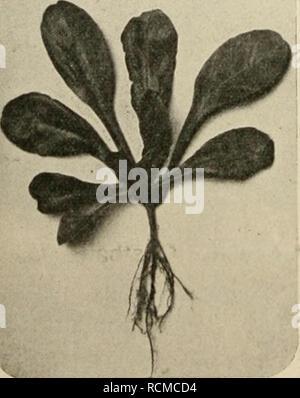 . Die Gartenwelt. Gardening. 256 Die Gartenwelt. VII, 22 Mi, Salatbl ätteriger Feldsalat. Von A. Seulen, Haaren bei Aachen. (Hierzu eine Abbildung.) Lit bestem Erfolge kultivierte ich im vorigen Jahre salat- blätterigen Feldsalat, welcher in hiesiger Gegend noch wenig bekannt ist. Im Aussehen weicht der Samen dieses Salates wesentlich ab vom Samen der übrigen Feldsalate; es sind nämlich keine ab- geplatteten, glatten Körnlein, sondern zylindrische Stückchen, an welchen anscheinend der Blütenkelch haftet, wodurch selbige fast täuschende Aelmlichkeit mit Endiviensamen erhalten. Die Samen gingen  - Stock Photo