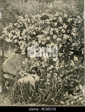 . Die Gartenwelt. Gardening. 148 Die Gartenwelt. VII, 13 recht von den Hauptzweigen ab. Die Rinde ist rotbraun, mit vielen langen, gerade abstehenden, rotbraunen Stacheln besetzt. Die Blätter sind fein, bis 12 cm lang aus 7—9 weit von einander stehenden, graugrünen Fiederblättchen zusammengesetzt. Die Blattstiele, die Blattrippe, sowie der Blattrand sind braunrot. Blüten sah ich noch nicht. /?. beggeriana Schrenk. Stark aufrecht wachsender, fein verästelter Strauch, dessen hellgrüne Zweige spärlich mit langen, feinen, gerade abstehenden Stacheln besetzt sind. Die Blätter sind 8—10 cm lang, bla - Stock Photo