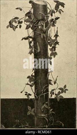 . Die Gartenwelt. Gardening. S66 Die Garteriwelt. VI. 48 weisser Spitze versehene Staubgefässe gestellt. Die Blume haucht einen schwachen Wohlgeruch aus, sie öffnet sich gewöhnlich zwischen 8—9 Uhr vormittags, um sich 12 Uhr mittags wieder zu schliessen. NympJiaea guineensis kommt an den beiden beobach- teten Standorten in ziemlich flachen Sümpfen vor; bei Minnesera am Longa fanden sich Pflanzen dieser Art in 20—30 cm tiefen Gräben bei einer Wassertemperatur von etwa 31° C. und zwar in Gesellschaft von Vtricularia henjaminiana D. Oliv, und Nymphaea sulphurea Gilg. Die letztere Art stellte sich - Stock Photo