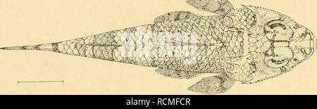 . Die Fische der Siboga-expedition. Fishes. Fig. io8. Platycephalus graiiilisquamis n. sp. von Stat. 164. X 'V2- läno-e diese ist die Hälfte der Breite der Schnauzenbasis. Unterkiefer wenig vorspringend, Schnauze gerundet. Nur das vordere Nasenloch hat einen einfachen Cirrhus. Kopf bis hinter die Augen ctenoid beschuppt. Am vorderen oberen Augenwinkel 4 starke Dornen. Supra- orbitalkamm und der sich daran anschliessende Scheitelkamm mit ca 15 Dornen. Hinter dem ^. ,_ Auge eine Reihe von 3—5 Dornen. Auf den dreispitzigen Praeorbital- stachel folgt der Infraorbitalkamm mit ca 18 angeschlossenen  - Stock Photo