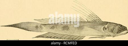 . Die Fische der Siboga-expedition. Fishes. 478 geht. Augenabstand ungefähr ^s des Augendurchmessers, dieser ist ^^ der Kopflänge und kleiner als die Schnauze. Deren Profiel ist stark convex. Mundspalte schräg, Oberkiefer erreicht die Vertikale des hinteren Augenrandes. Oberkiefer-Zähne einreihig, konisch, schwach gebogen.. Fig. 96. Gobiiis (OxyurkhtliysJ notoncma M. Web. von Stat. 121. X l'/ä- verhältnissmässig gross, jederseits 14—16; Unterkiefer-Zähne zu etwa 23—25 jederseits, zwei- reihig, kleiner, auch die äussere Reihe. Zunge ganzrandig. Schuppenbedeckung hat gelitten; Schwanzschuppen gr - Stock Photo
