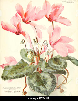 """. Die Gartenwelt. Gardening. ,DiE Gartenwelt' JAHRGANG IX.. Cyclamen persicum giganteum """"Brillantrosa"""" Züchtung von H. Tubbeiithal, Charlottenburg. Verlag von Richard Carl Scliuiidt & Co. in Leipzig. Kunstanitalt Ernsi Günlhqr, Gera, Reuss.. Please note that these images are extracted from scanned page images that may have been digitally enhanced for readability - coloration and appearance of these illustrations may not perfectly resemble the original work.. Berlin : G. Schmidt - Stock Photo"""