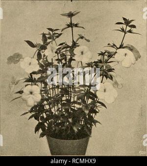 """. Die Gartenwelt. Gardening. 148 Die Garten weit. XVI, 11. Achimenes longiflora. Originalaufnahme für die """"Gartenwelt"""". Varietäten, z. B. latifolia, in allen Teilen größer als die Stammart und mit dunkelblauen Blumen, albida, niedriger als die Stammart, mit blaßblauen, und rosea, mit hellrosaen Blumen. Eine andere auffallende Spezies aus dieser Gattung ist A. tubi- flora (Abb. nebenstehend), welche sich aber nicht wie die vorige zur Zimmerkultur eignet, dafür aber eine interessante, dankbare Pflanze für kühl temperierte Häuser ist, und deshalb für solche Privat- gärtner, deren Herrschaft  - Stock Photo"""