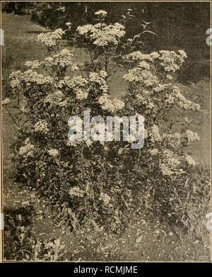 . Die Gartenwelt. Gardening. XV, 4 Die Gartenwelt. 47 hart sind. Während Baccharis Kiihnia und Amphirapis albescens bei uns regelmäßig zurückfrieren, hat der genannte Strauch hier seit 7 Jahren vollkommen ausgehalten und kaum eine Zweigspitze durch Frost verloren. F. Rehnelt, Gießen. Die Platane im Orient. Die wichtigsten Bäume im Orient sind die Akazie, die Kastanie und die Platane. Die Akazie findet man als Allee-, Straßen- und Parkbaum hauptsächlich in Bulgarien, besonders in Sofia fällt uns sofort ihre übermäßige Verwendung bei der Bepflanzung von Straßen und öffentlichen Anlagen auf. In d - Stock Photo