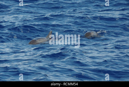 Swimming melon-headed whales in the caribbean off the coast of Dominica - Stock Photo