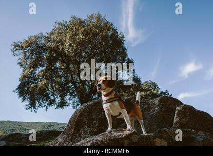 Pretty Beagle dog looks attentive on a large rock - Stock Photo