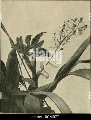 """. Die Gartenwelt. Gardening. Die Gartenwelt. IV,. Eria laucheana. Vom Verfasser für die """"Gartenwelt'' pfiotographisch aufgenommen. Grunde an mit grofsen, weifsen, gegen die Spitze an Gröfse abnehmenden Lrakteen besetzte Blüteustiel, von weifslicher Farbe; derselbe ist zerstreut braun behaart und trägt eine Traube von 13—20 Blüten, von denen jede durch ein weifses länglich eiförmiges Deckblatt, von etwas mehr als der halben Fruchtknotenlänge, gestützt ist. Die Sepale sind weifs, das obere schmallanzettlich, bogig zurückgekrümmt, die seitlichen sind dreieckig eiförmig, an der Basis verwachsen un - Stock Photo"""