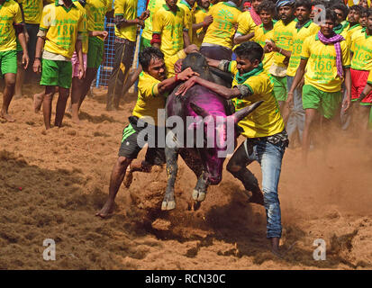 Avaniyapuram, Tamil Nadu, India. 15th Jan, 2019. Tamil Nadu is hosting the traditional bull-taming festival Jallikattu during Pongal, between January 15 and 17. Jallikattu has been a very controversial tradition with animal rights activists demanding a ban on the practice while others protesting against it. The tradition was banned by the Supreme Court in 2014 on account of 'animal cruelty', however, the ban was lifted by the state government in 2017 after protests. Credit: Sumit Sanyal/ZUMA Wire/Alamy Live News - Stock Photo