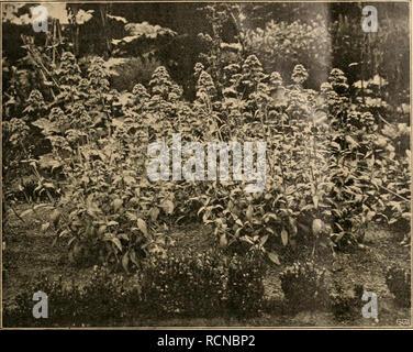 """. Die Gartenwelt. Gardening. XV, 47 Die Gartenwelt. 647. Centranthus ruber. Im Botanischen Garten zu Hamburg für die """"Gartenwelt"""" photographisch aufgenommen gehabt haben, und ist dann wohl, wie auch, in die Alpen hinaufgewandert. Saponaria oxymoides besitzt hell- rote bis rosa Blüten, die den be- kannten Typ der Silenenblüten zeigen. Die einzelne Blüte hat einen Durch- messer von 1 bis 1' j cm. Die Blüten sind in reicher Fülle zu einem Blüten- stande geordnet. Zur Blütezeit ver- schwinden die Blätter förmlich unter der Blütenfülle. Die gegenständigen,verkehrt-eiför- migen Blätter sind zug - Stock Photo"""