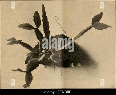 . Die Gartenwelt. Gardening. Rhipsalis crysocarpa. die der Primel- gruppe nächst- verwandte Cor- tusa Matthioli L. ist, wie A. Nest- ler fand, eine stark haut- reizendePflanze. Wie bei der Pri- mel, sind mikro- skopische Drü- senhärchen vor- handen, deren Sekret einige Zeit, event. erst einige Tage nach Berührung einen juckenden Bläs- chenausschlag verursacht (vgl. Berichte der Deutschen Bo- tan.Gesellschaft, 25. Juli 1912, Heft 6, p. 330). Meine Haut ist weder gegen Primula obco- nica noch gegen den berüchtigten Giftsumach empfindlich, obwohl ich blond und blauäugig bin und gerade keine derbe - Stock Photo