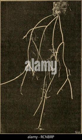 . Die Gartenwelt. Gardening. XVI, 46 Die Gartenwelt. 635. Rhipsalis crysocarpa. die der Primel- gruppe nächst- verwandte Cor- tusa Matthioli L. ist, wie A. Nest- ler fand, eine stark haut- reizendePflanze. Wie bei der Pri- mel, sind mikro- skopische Drü- senhärchen vor- handen, deren Sekret einige Zeit, event. erst einige Tage nach Berührung einen juckenden Bläs- chenausschlag verursacht (vgl. Berichte der Deutschen Bo- tan.Gesellschaft, 25. Juli 1912, Heft 6, p. 330). Meine Haut ist weder gegen Primula obco- nica noch gegen den berüchtigten Giftsumach empfindlich, obwohl ich blond und blauäug - Stock Photo